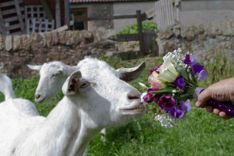 A goat sniffing the bride's flower bouquet