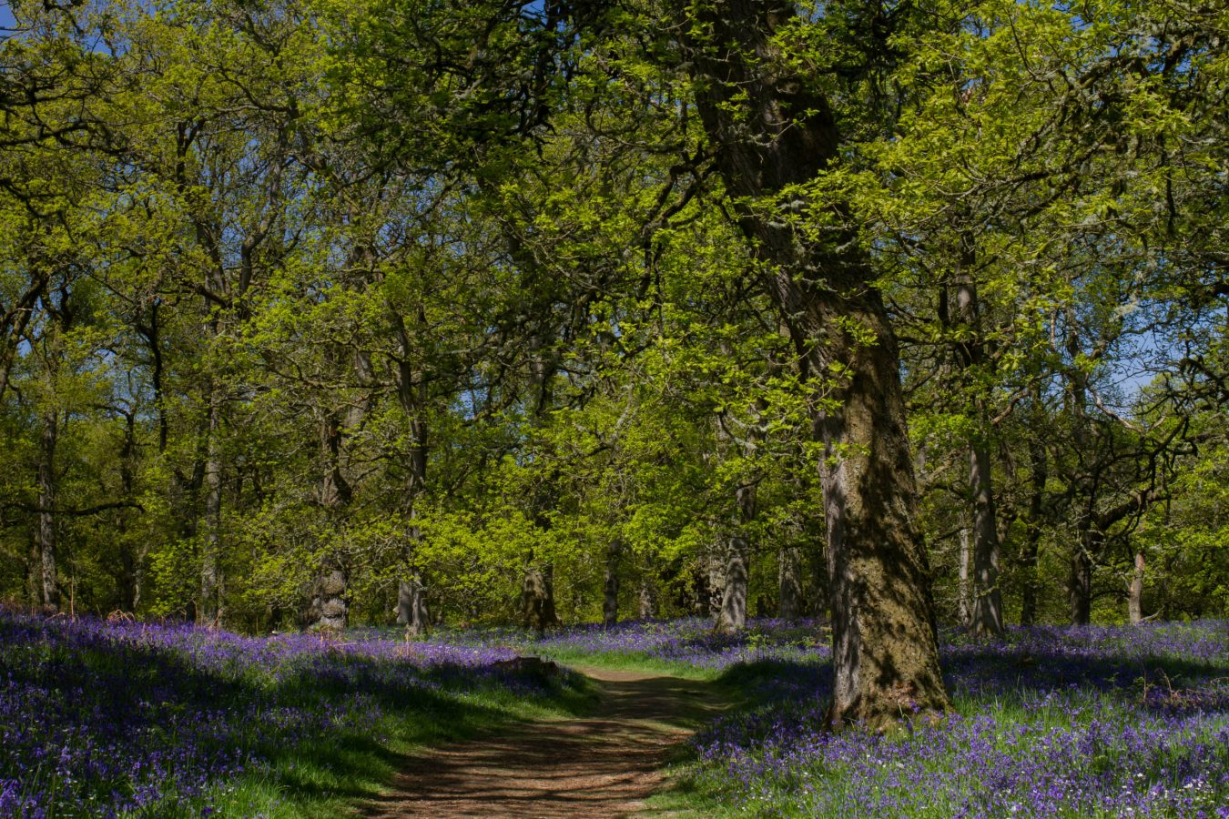 Bluebell woodland in Perthshire, Scotlan